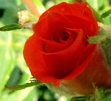 Bud of a Rose by DottieDees