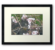 Japanese Cherry Framed Print
