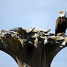 On Look Out ~ Bald Eagle Alaska by Barbara Burkhardt