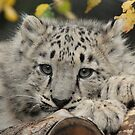 Snow Leopard Cub by Brad Francis