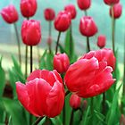 Tulips by suz01