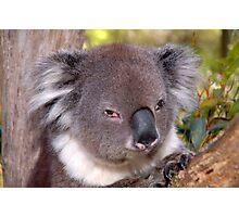 Koala at Cleland Park Photographic Print