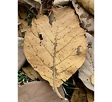 Dry Leave Photographic Print
