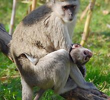 Tina and Easter- Vervet Monkey by Kimberley Mazzoni