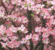 Pink Dogwood Blossoms by jpulley