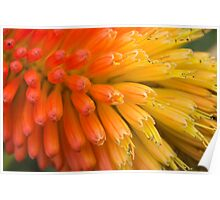 Kniphofia flower Poster