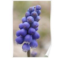 Macro - Grape Hyacinth Poster