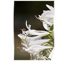 A Hoverfly on the Agapanthus Poster
