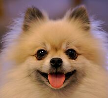Loud Pomeranian by welovethedogs
