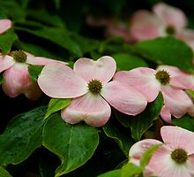 pink dogwood by Wanda Faircloth