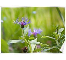 Cornflower Magic Poster