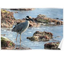 Yellow-crowned Night-Heron Poster