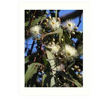 lemon scented eucalypt flowers Art Print