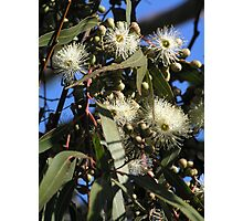 lemon scented eucalypt flowers Photographic Print