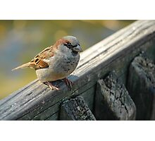 Brown sparrow Photographic Print