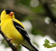 Brilliant Observer Goldfinch Sticker