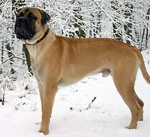 Quiet Bullmastiff