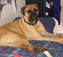 Furry Bullmastiff