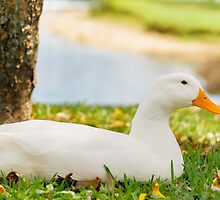 Sittin' Duck by debbieannpowell