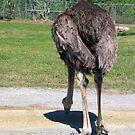 Ostrich by Dan Shiels