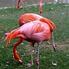 Flamingo - Busch Gardens by Dan Shiels