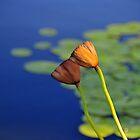 lillies by Bhumi Shah