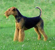 Special Airedale Terrier by welovethedogs