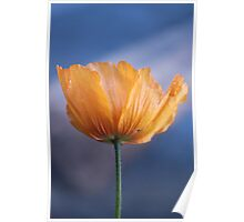 beautiful spring wild yellow flower in blue background. Poster