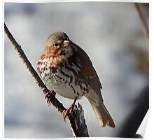 Fox Sparrow Poster