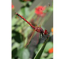Red Male Skimmer or Firecracker Dragonfly Photographic Print