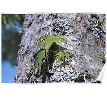 Big maple tree trunk with lichen and young spring green leaves. Poster