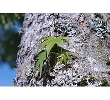 Big maple tree trunk with lichen and young spring green leaves. Photographic Print
