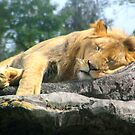Lion Sleeping by Dan Shiels