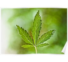 Cannabis Indica Leaf Poster