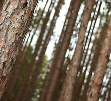 Pine Tree Forest by tamckee