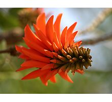 African Flame Photographic Print