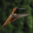 Female Rufous by Joe Powell