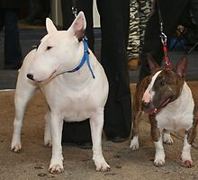 Quiet Bull Terrier