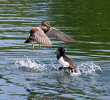 Gadwall V's Tufted Duck by Nigel Bangert