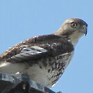 YOUNG RED-TAILED HAWK by janetmarston