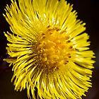 Colt&#x27;s-foot (Tussilago farfara) by Steve Chilton
