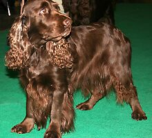 Young Sussex Spaniel