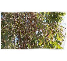 Brown Gumnuts Poster
