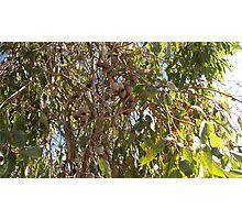 Brown Gumnuts Photographic Print