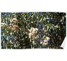 White Gum Blossoms Poster