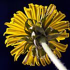 Dandelion (Taraxacum officinale) by Steve Chilton