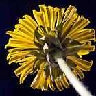 Dandelion (Taraxacum officinale) by Steve Chilton