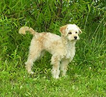 Adorable Goldendoodle by welovethedogs
