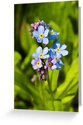 Forget-me-not Flowers (Myosotis arvensis) by Steve Chilton