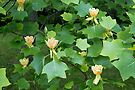 Liriodendron Tulipfra by wolftinz